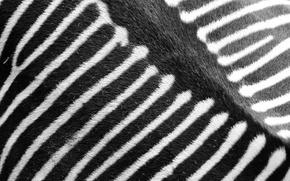 Picture strip, Zebra, black and white