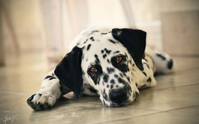 Picture look, face, dog, Dalmatian