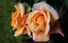 Picture flower, leaves, flowers, the dark background, rose, roses, yellow, petals, garden, orange, buds