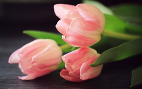 Picture tulips, trio, buds