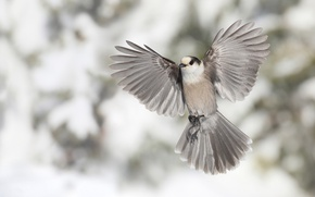 Picture bird, wings, feathers, tail, bokeh, Canadian Jay