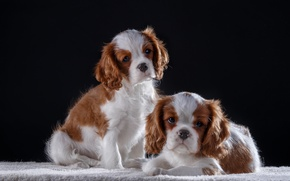 Wallpaper puppies, kids, king Charles Spaniel