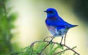 Picture bird, bird, blue