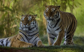 Wallpaper a couple, wild cat, tigers