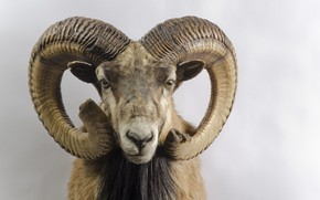 Picture horns, head, Capra pyrenaica