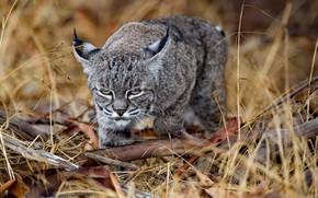 Wallpaper predator, look, lynx, grass, wild cat