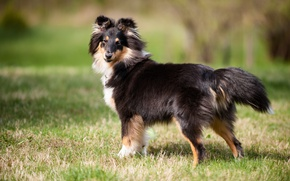 Wallpaper each, shetland sheepdog, sheltie, look, dog