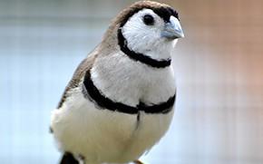 Picture nature, bird, beak, ringed astrild