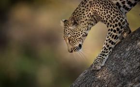 Picture background, tree, Leopard, wild cat, bokeh