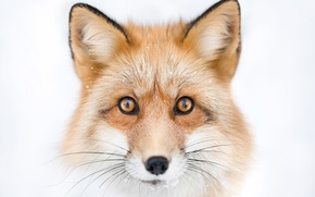 Picture look, face, portrait, Fox, Fox
