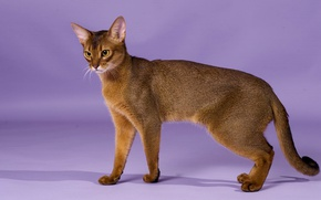 Picture grace, breed, Abyssinian cat