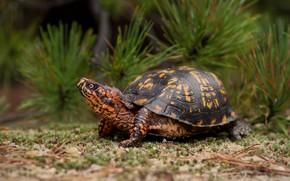 Picture turtle, pine, armor