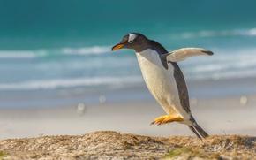 Picture jump, bird, penguin, a gentoo penguin, Gentoo penguin