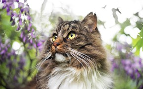 Picture cat, cat, mustache, look, face, leaves, flowers, nature, grey, background, portrait, blur, spring, fluffy, garden, …