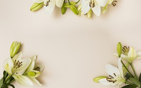 Picture flowers, background, loaves, Lily