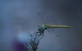Picture nature, insect, dragonfly, wings