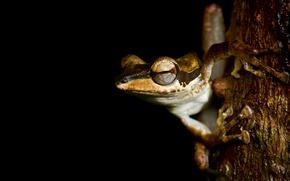 Picture animals, eyes, macro, tree, frog, legs, red, bark, black background, sitting, looks, striped, pupils, amphibians, …