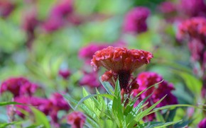 Picture summer, nature, Flowers, flowering
