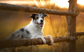 Wallpaper dog, the fence, autumn, each