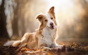 Picture autumn, dog, bokeh, The border collie
