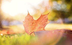 Picture autumn, leaves, macro, light, sheet, bokeh