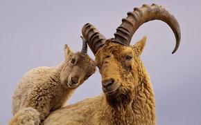 Wallpaper Western Caucasian Tur, horns, Caucasian mountain goat, Alpine rock goat, Caucasian Tur, goat