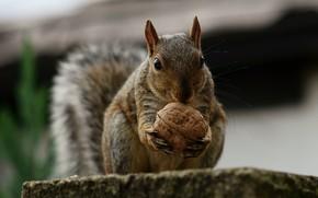 Picture walnut, protein, squirrel, rodent
