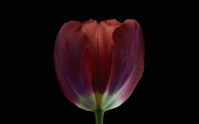 Picture background, Tulip, petals