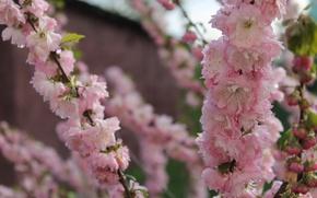 Picture Nature, Sakura, Veydelevka