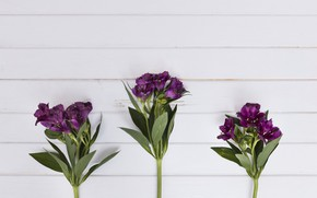 Picture Flowers, Background, Purple, Alstroemeria