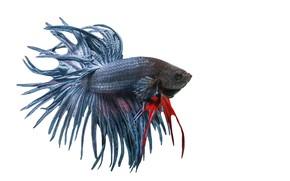 Picture white, art, fish, betta