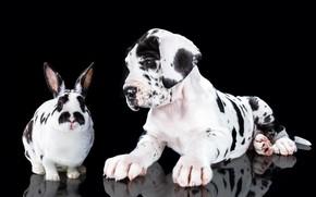 Picture portrait, dog, rabbit, puppy, black background, spotted, Great Dane, Natalia Lays