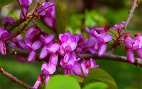 Picture branches, Spring, Spring, Flowering, Flowering, Purple flowers, The European Barannik, The European Cercis, Judas tree