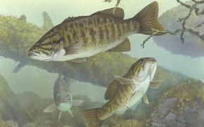 Wallpaper fish, the bottom, predator, snags, micropterus dolomieu, Smallmouth bass