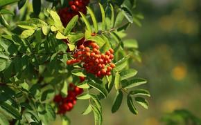 Picture greens, summer, leaves, Rowan