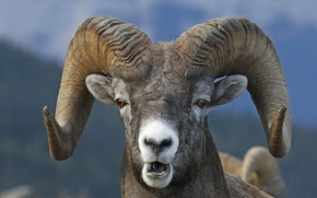 Picture look, face, horns, RAM