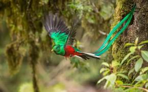 Picture feathers, tail, flight, Quezal, Quetzal, Pharomachrus mocinno, Quetzal