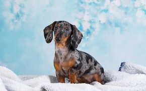 Picture Dachshund, Studio, bokeh, dog, background
