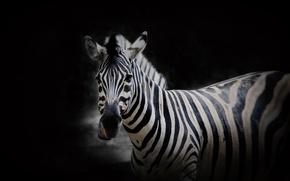 Picture nature, background, Zebra