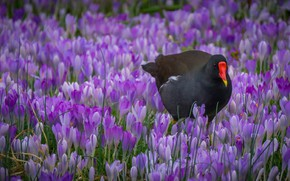 Picture flowers, bird, crocuses