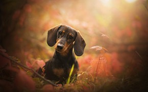 Picture look, face, dog, ears, bokeh, Dachshund