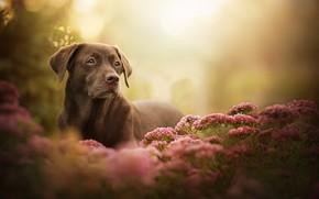 Picture look, flowers, dog, bokeh, Labrador Retriever