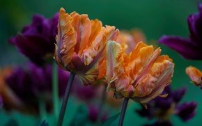 Picture flowers, bouquet, purple, tulips, orange, buds, green background, Terry