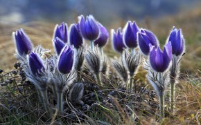 Picture spring, sleep-grass, anemone