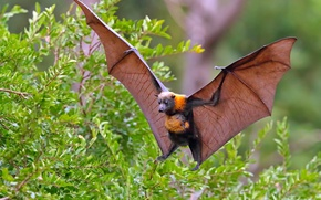 Picture branches, wings, Fox, the bushes, flying Fox