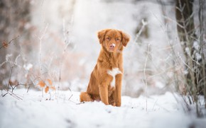 Picture winter, frost, forest, look, leaves, snow, trees, nature, dog, red, puppy, serious, sitting, light background, …