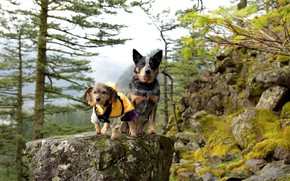 Picture dogs, nature, mountain