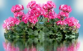 Picture Flowers, Reflection, Woda, Pelargonie