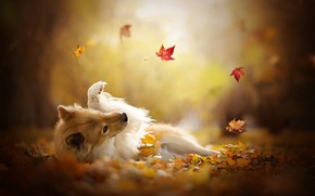 Wallpaper dog, bokeh, the game, Shetland Sheepdog, Sheltie, autumn, leaves