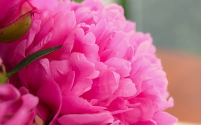 Picture flower, pink, widescreen, peony